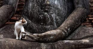 mèo trên tượng Phật